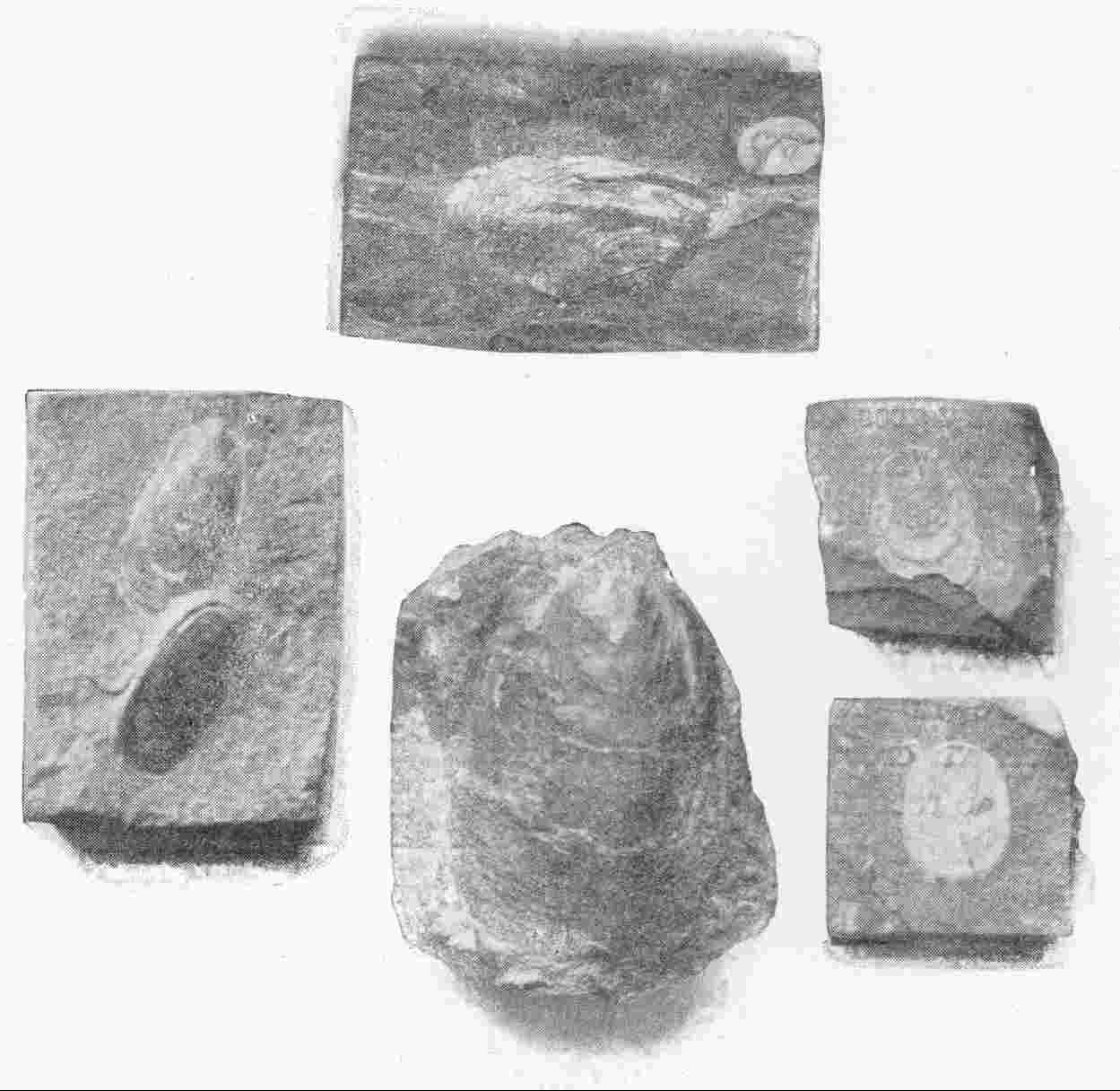 EARLY PALÆOLITHIC FOSSILS OF VARIOUS SPECIES OF