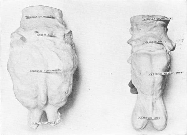 COMPARATIVE SIZES OF BRAINS OF RHINOCEROS AND DINOCERAS