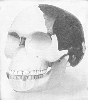 THE PILTDOWN SKULL, AS RECONSTRUCTED FROM ORIGINAL FRAGMENT